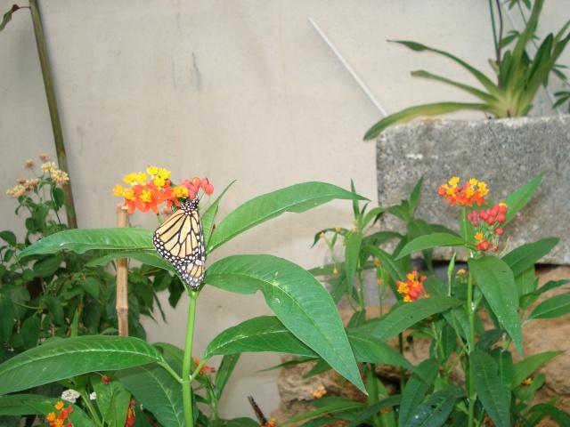 serre aux papillons Serre_29