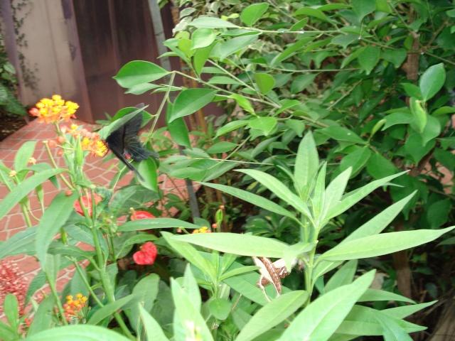 serre aux papillons Serre_33