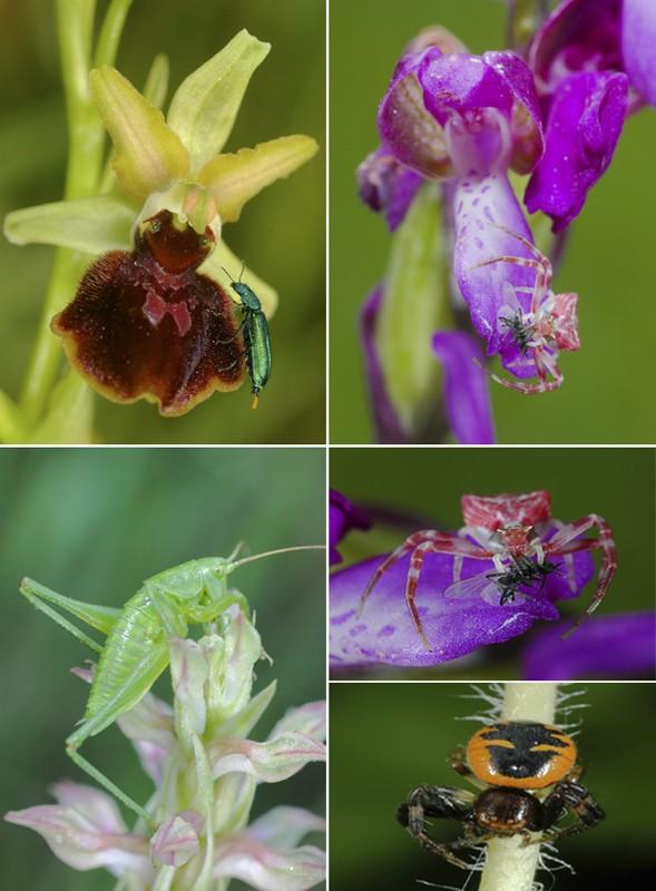 Insectes et orchidées en Espagne Espop10