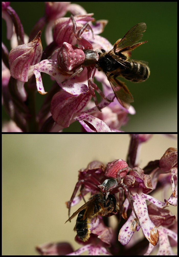 Araignée crabe L_arai10