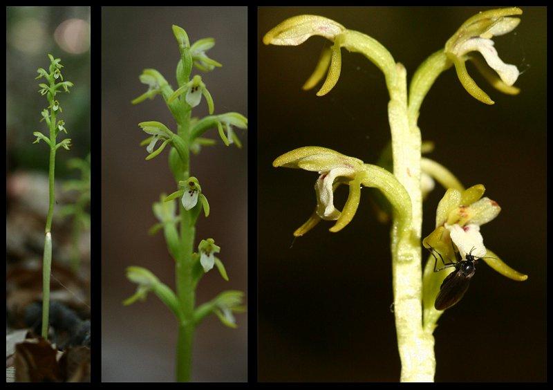 Corallorhiza trifida  ( Racine de corail ) Montag11