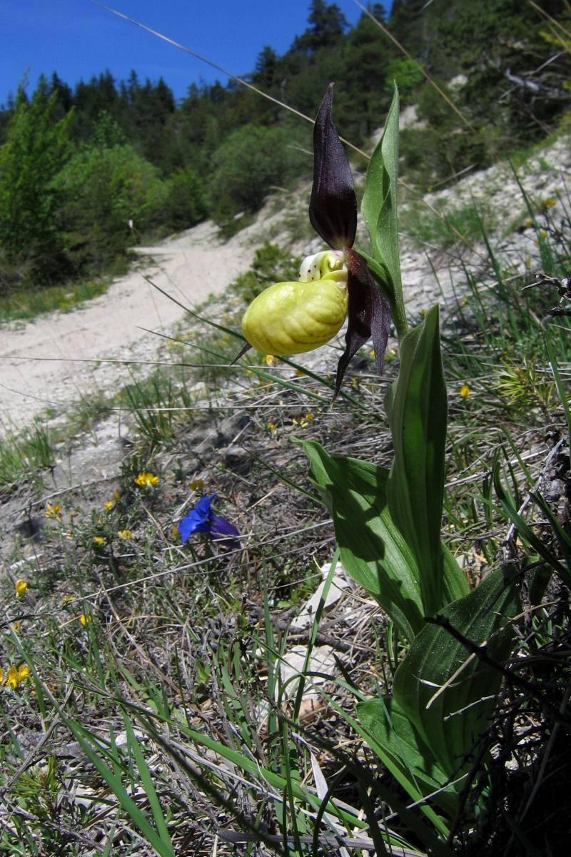 Cypripedium calceolus  ( Sabot de Vénus ) Trez0210
