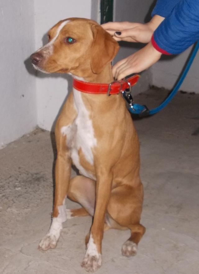 URGENCE : CHANEL petite chienne de 11 mois Dscn0816
