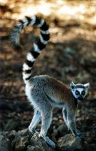 Jeu de la recherche d'images - Page 2 Lemur10