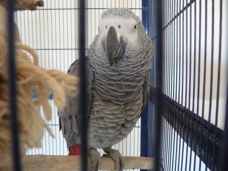 Un nouveau gris! Oiseau10