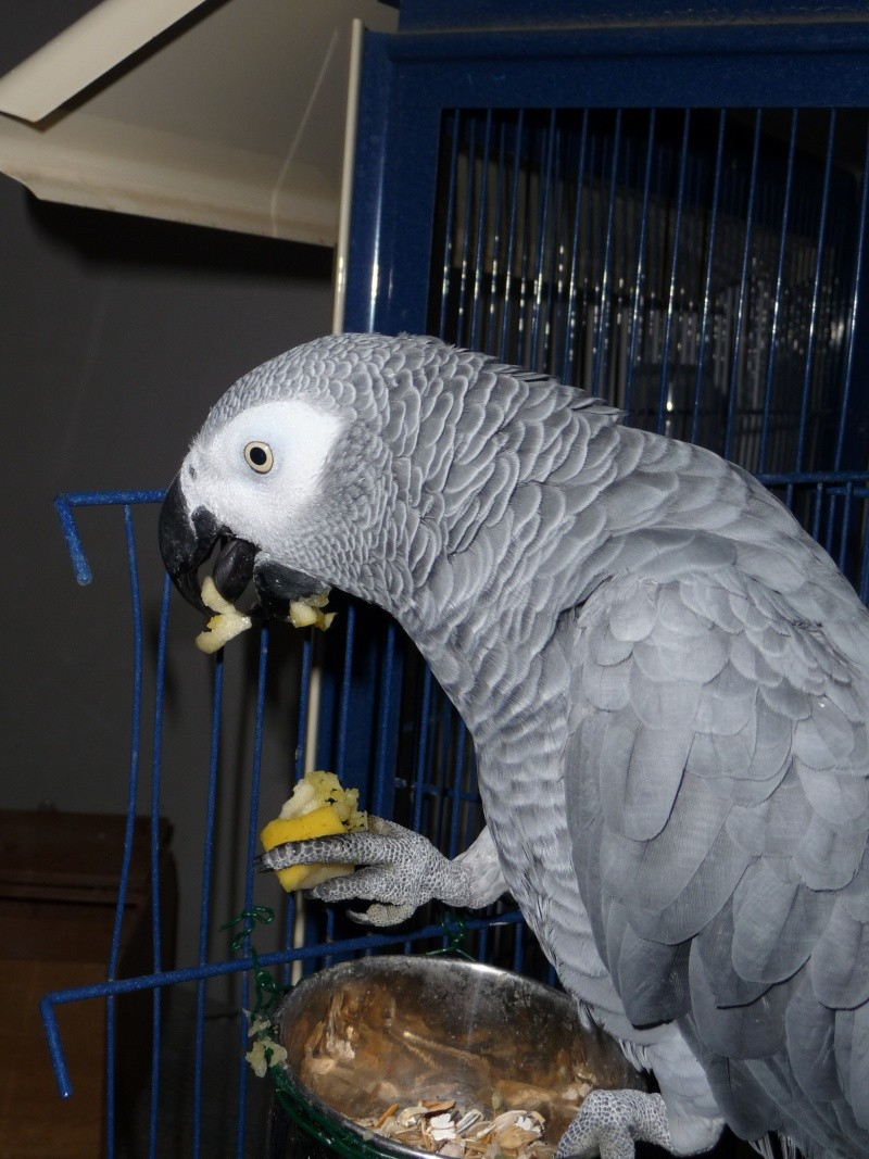 Un nouveau gris! Oiseau12