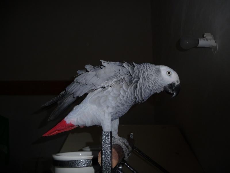 Un nouveau gris! Oiseau13