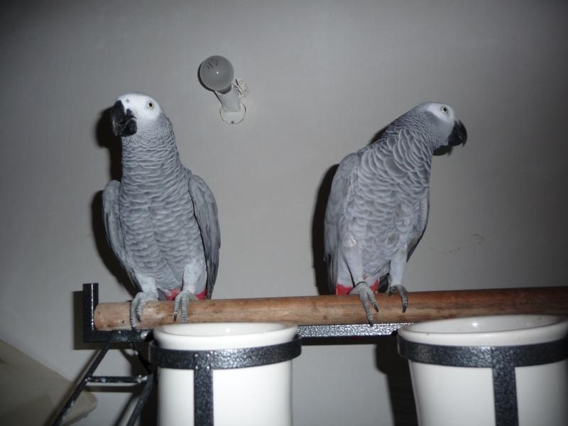 Un nouveau gris! Oiseau14