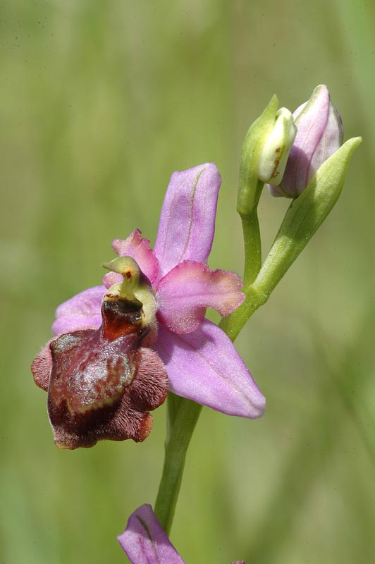 Ophrys aveyronensis ( Ophrys de l'Aveyron ) Op_ave11