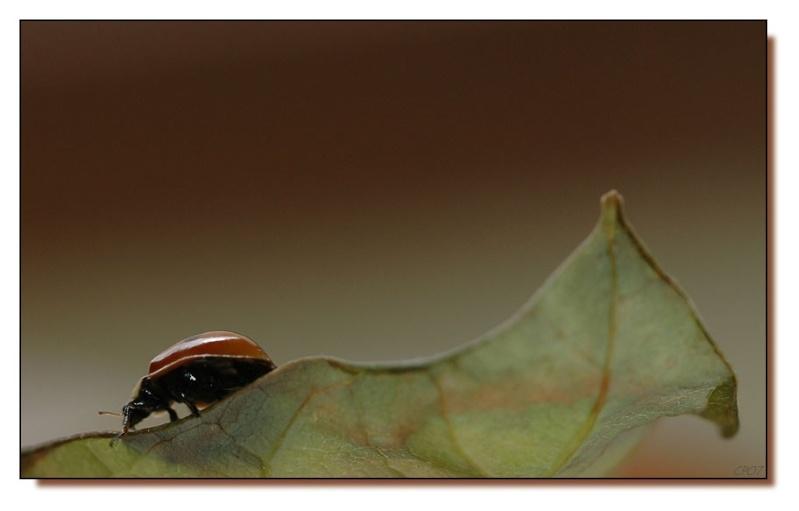 coccinelle & larve essais Dsc_3510