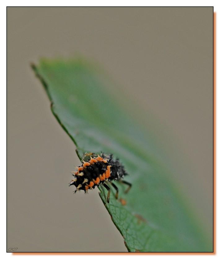 coccinelle & larve essais Dsc_3511