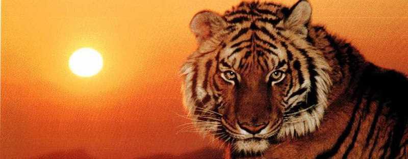 Tigers klán fóruma