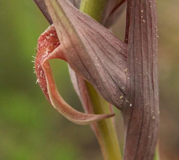 Serapias nurrica ( Sérapias de Nurra ) Pict0119