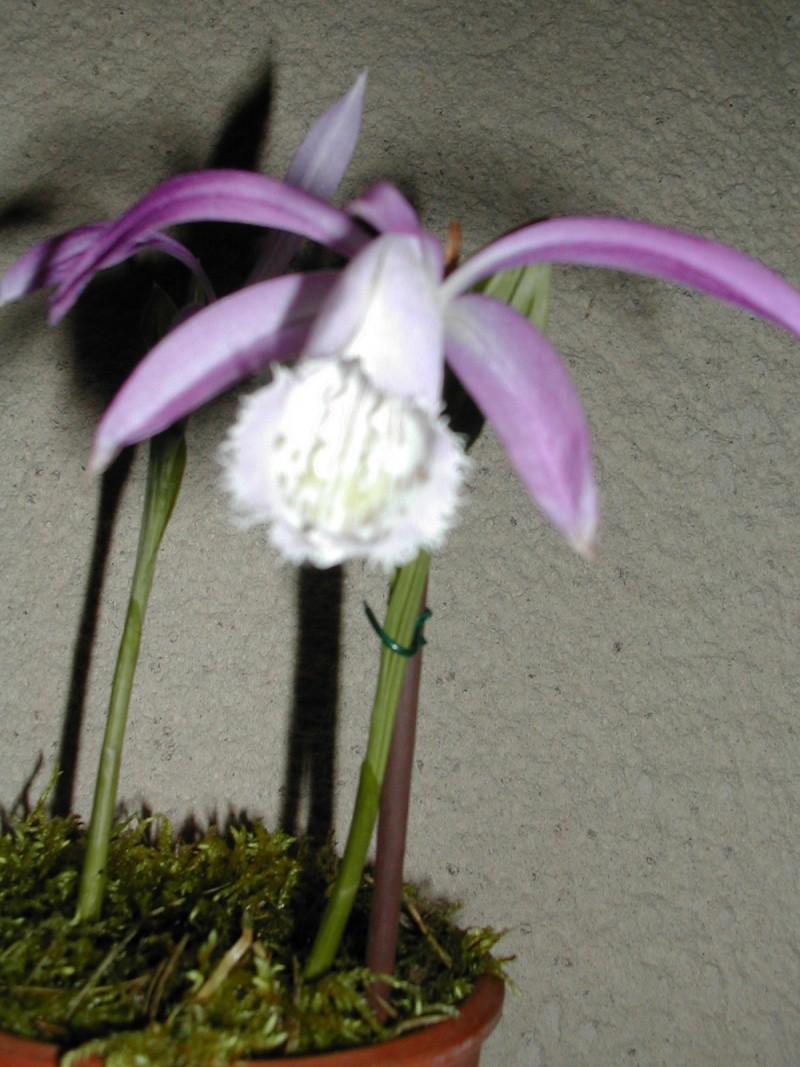 Pleione botaniques Dscn3210