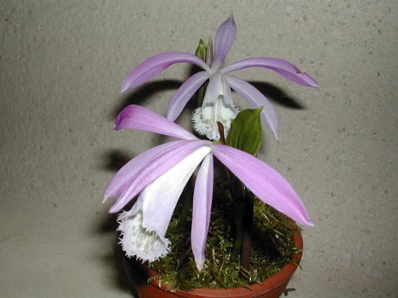 Pleione botaniques Dscn3211