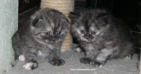 mes petites chatonnes à 5 semaines 18_05-11