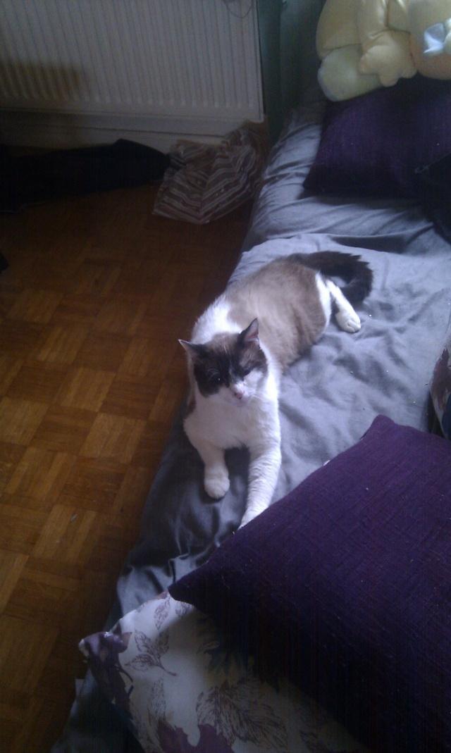 Isaac magnifique chat typé siam 62 coeur de félins Imag0210