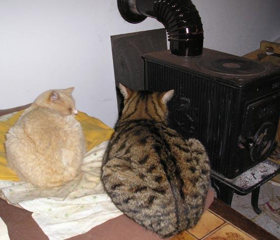 mes deux charolais Chats10
