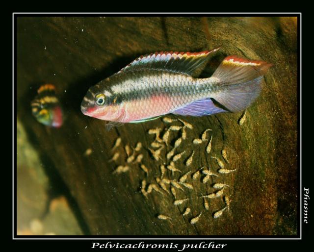 Pelvicachromis pulcher Img_0517