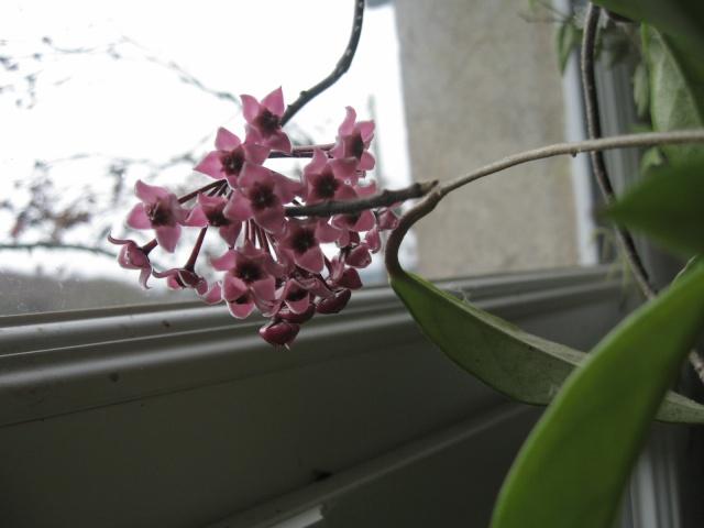 hoya carnosa variegata Img_0010