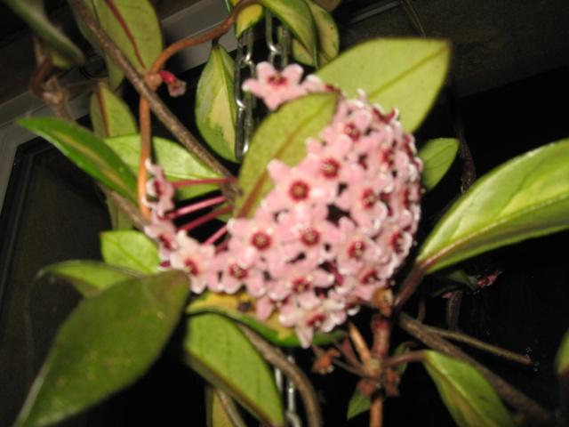 hoya carnosa variegata Img_0011