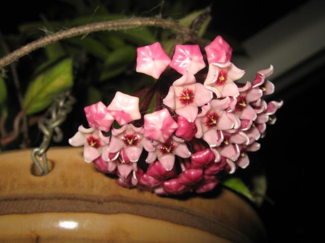 hoya carnosa variegata Img_0124