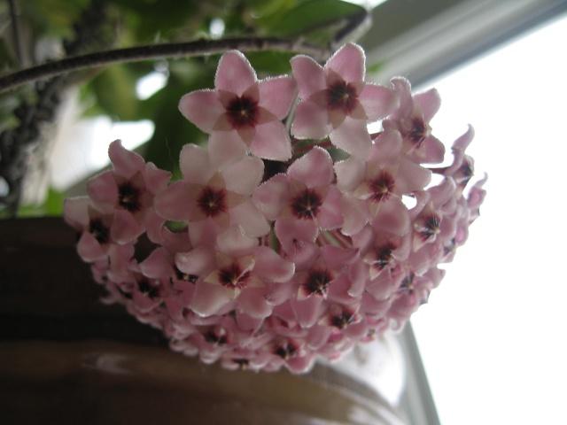 hoya carnosa variegata Img_0125
