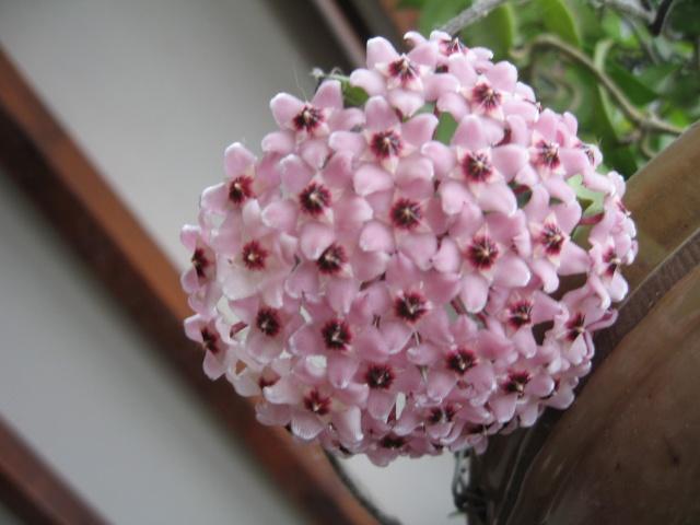 hoya carnosa variegata Img_0126