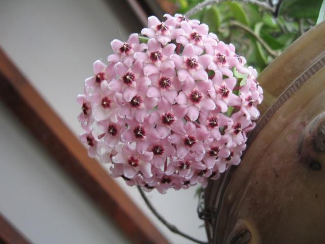 hoya carnosa variegata Img_0127