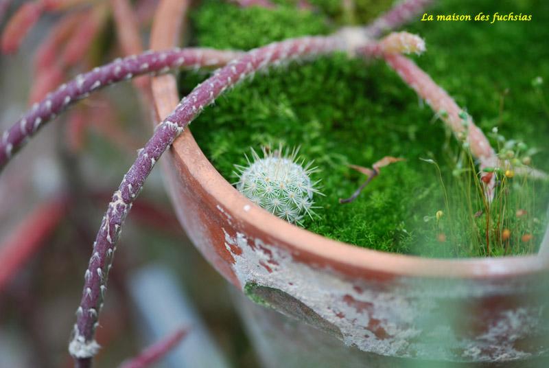 """Les plantes """"grasse"""" - Page 4 Bebe-c10"""