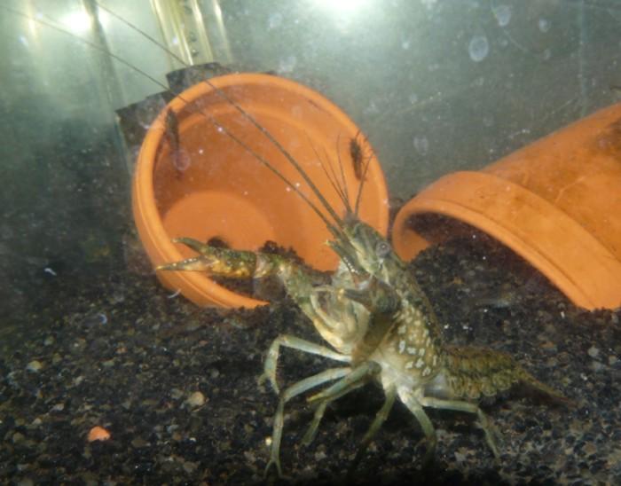 Procambarus sp marmor Procam10