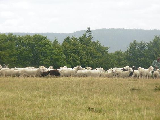 Organisation rencontre V2 Ardèche 8 et 9 juin 2013 - Page 4 Mouton10