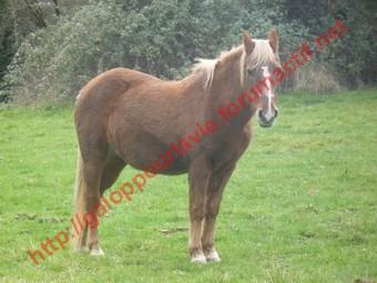 GENTIANE - ONC Poney née en 1979 - Adoptée en mai 2010 par gentianeve Gentia17