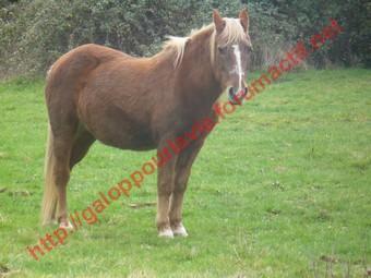 GENTIANE - ONC Poney née en 1979 - Adoptée en mai 2010 par gentianeve Gentia18
