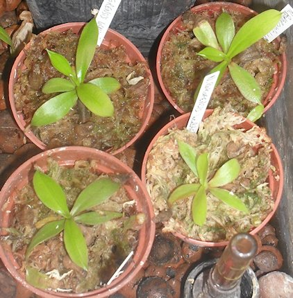 Mes bébés N. Bokorensis Sdc10011