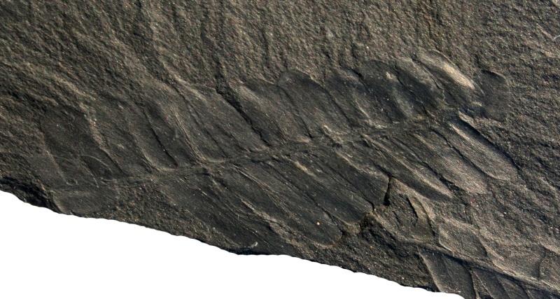 Flore Carbonifère des Alpes Françaises part 1 02910