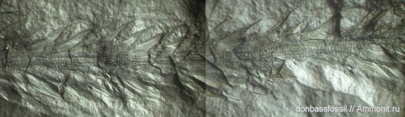 Bothrodendron Lindley et Hutton ,1833. 13562810
