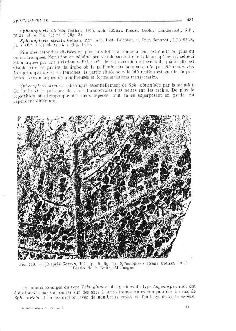 Eusphenopteris rotundiloba, Eusphenopteris talensii Bourea11
