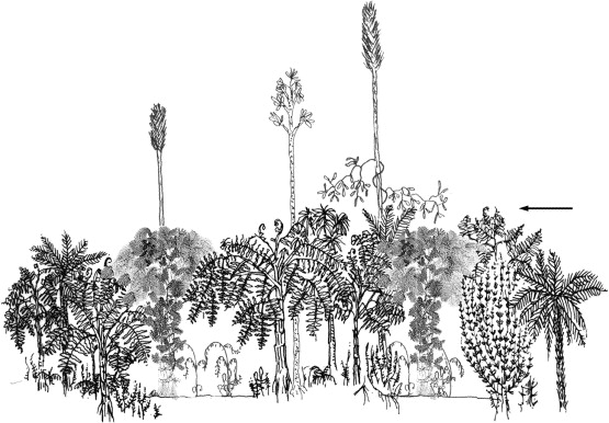 Neuropteris ovata Hoffmann . Cyclopteris Brongniart , 1830.  Canopa10