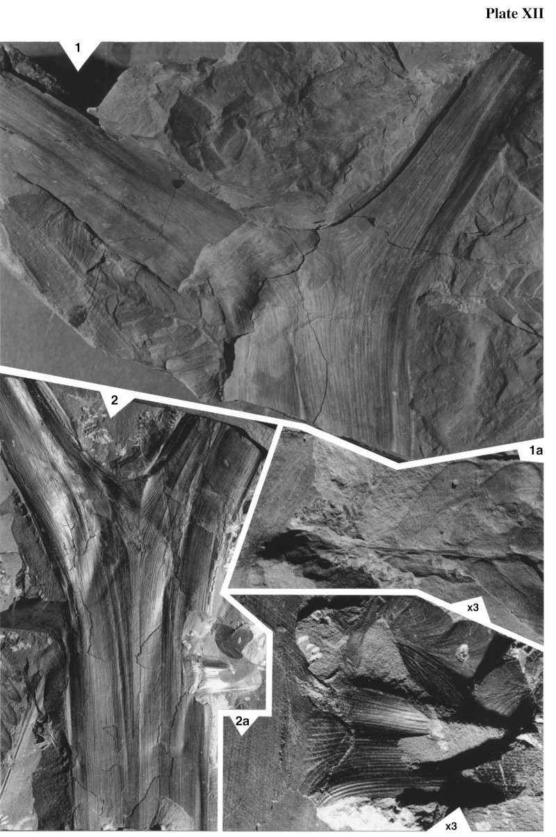 Neuropteris ovata Hoffmann . Cyclopteris Brongniart , 1830.  Pal-2412