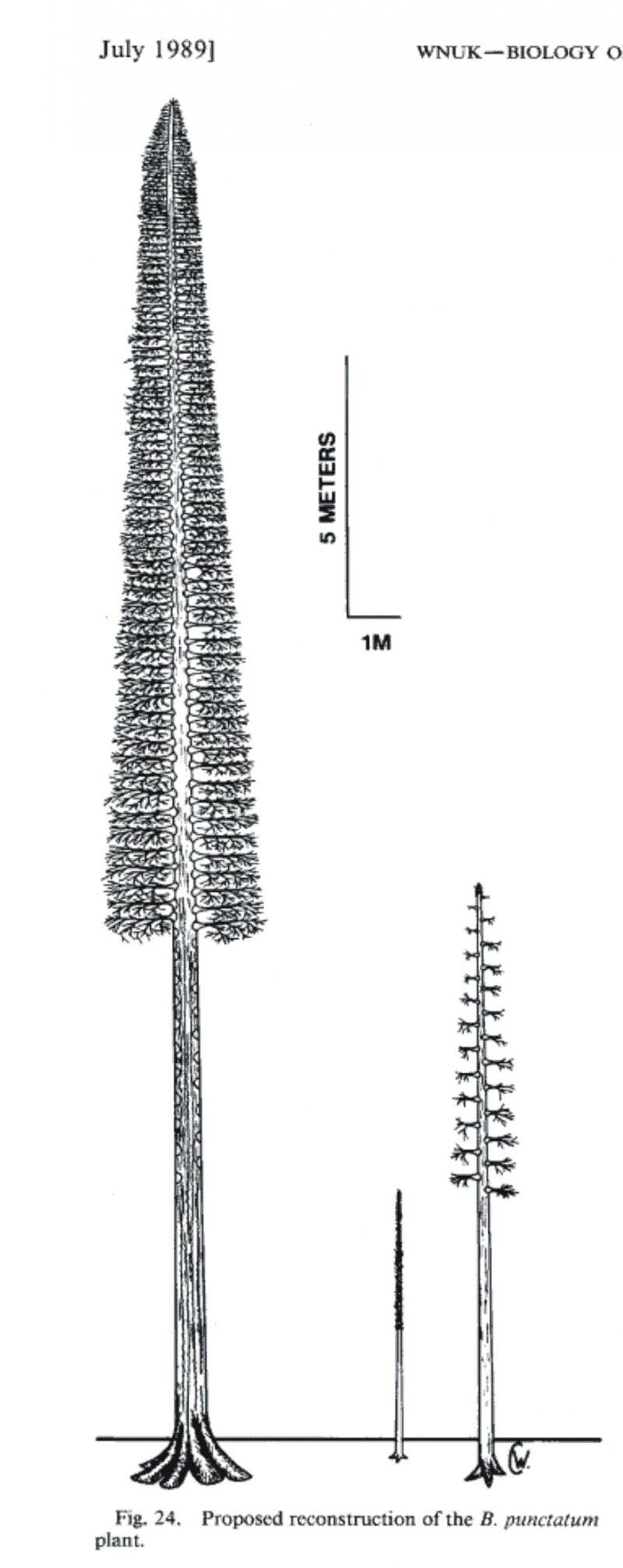 Bothrodendron Lindley et Hutton ,1833. Wn110