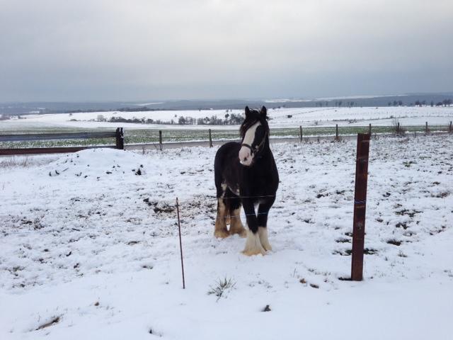 """Votez pour""""  L' irish cob dans la neige """" Photo_12"""