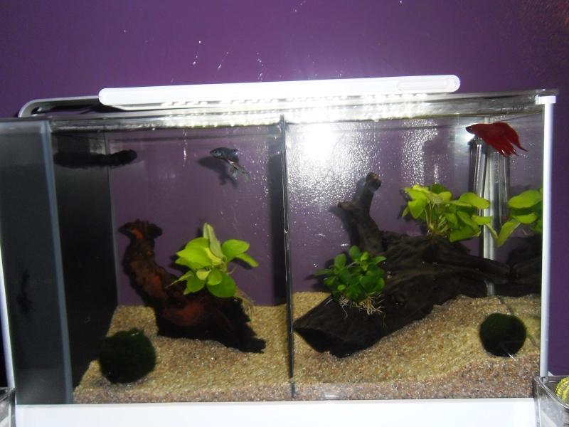 Nano aquarium Fluval Spec V 19L [mise en eau] - Page 2 P1100310