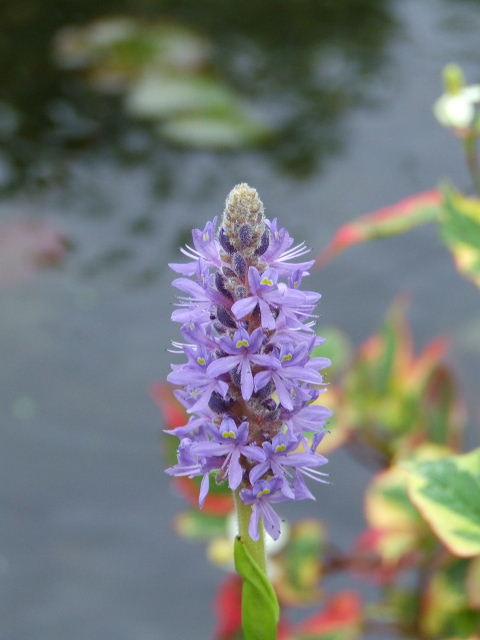 La flore aquatique 2006_010