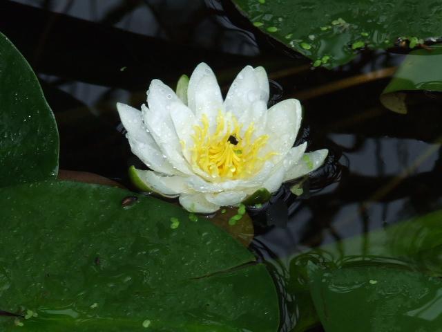 La flore aquatique 2006_011