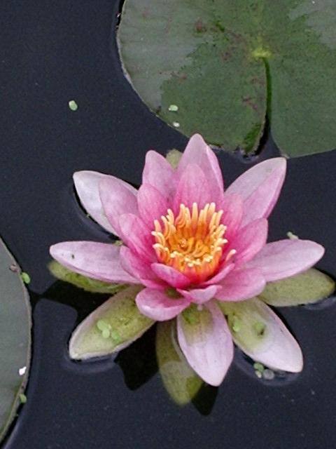 La flore aquatique 21_06_10