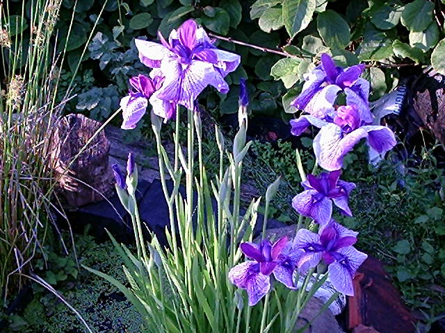 La flore aquatique 21_06_11