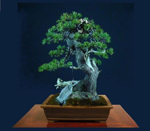Pinus mugo - interesting Yamadori. Dscf0210