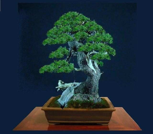Pinus mugo - interesting Yamadori. Kopie_11