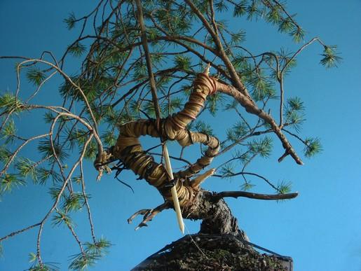 "Pinus sylvestris 2005 - ""Transformations "" Lj_110"